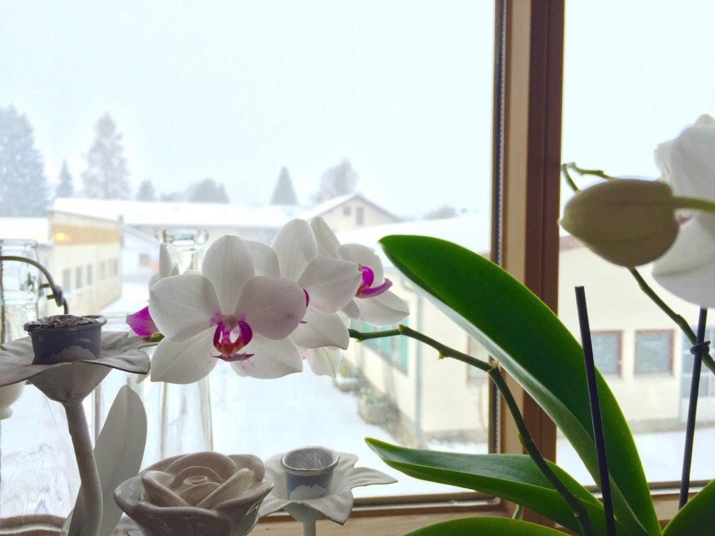 Orchidee im Schnee. Foto: Marcus Eitzenberger.