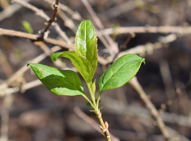 Forsythien-Blätter