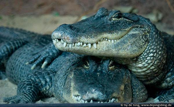 Krokodile im Zoo