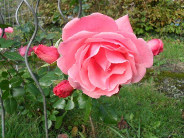 Weiter geben – Freude und Motivation in einer Rose vereint