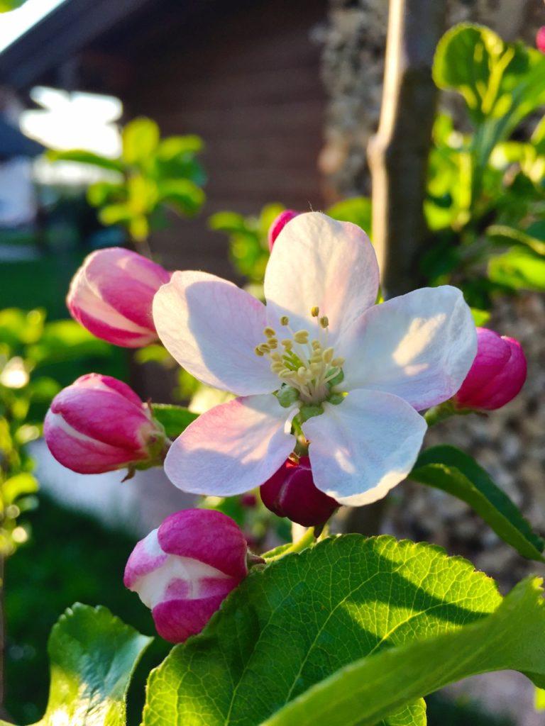 Apfelbaumblüte im Abendlicht.