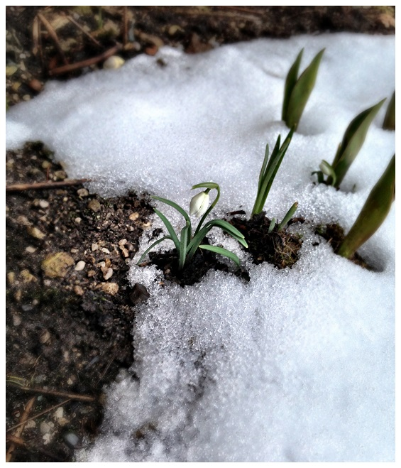 Frühling: Schneeglöckchen